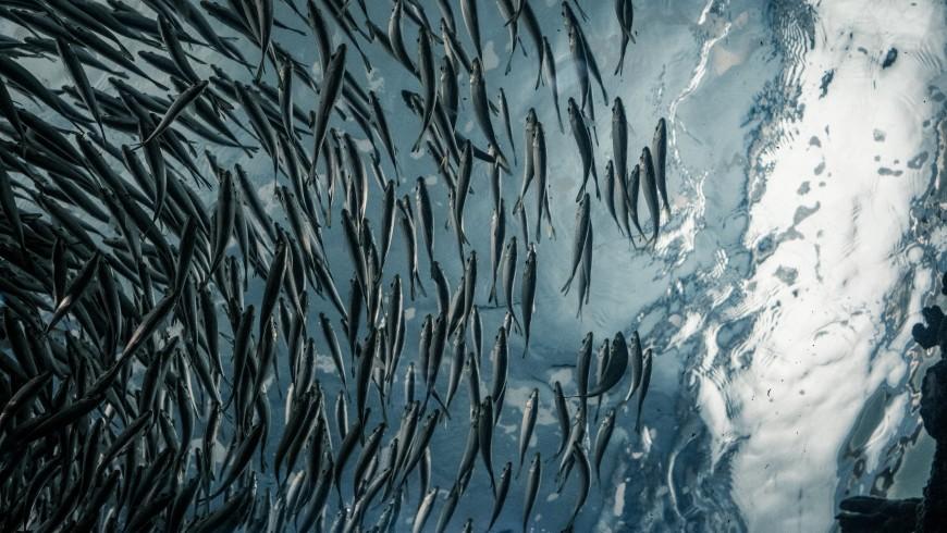 Meeresfische mit gutem Gewissen essen?