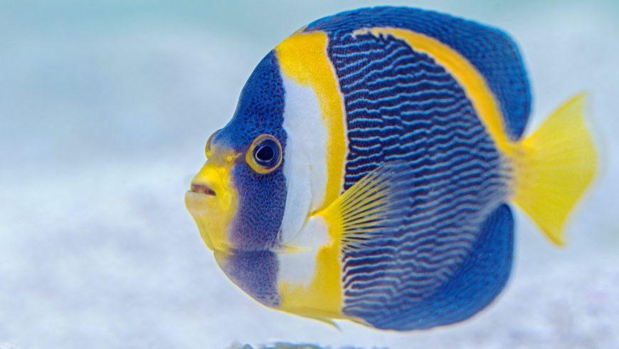 Fische zeigen liebeskrankes Verhalten